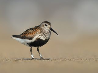 Dunlin with rings